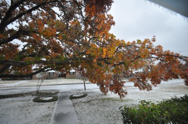 Oak tree damaged by ice Lake Highlands Dec 2013