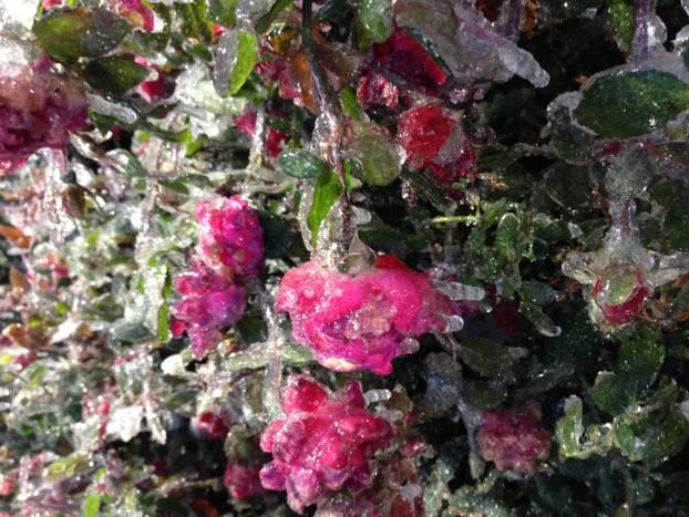 Ice covered roses Dallas Dec. 2013
